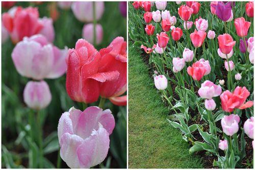 April 27 Tulips