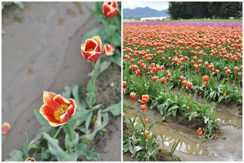 April 27 Tulips-003