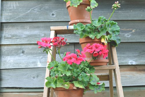 Pink-ombre-geraniums