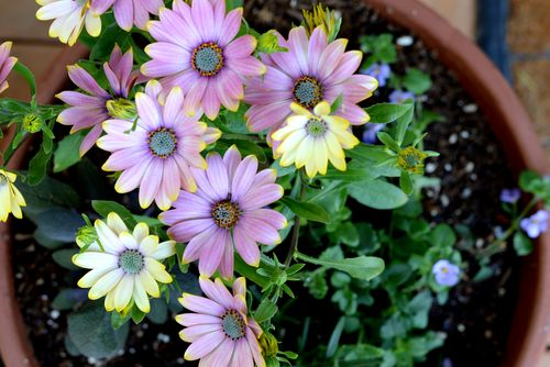 African-Daisys